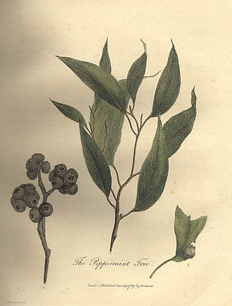 Eucalyptus piperita - Plate 23 of John White's Journal of a Voyage to New South Wales, showing leaves and fruit of E. piperita (Only the centre and right images portray E. piperita; the fruit on the left was later shown to be E.capitellata.)