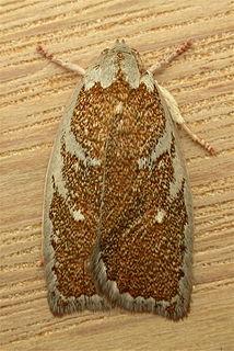 <i>Euchaetis</i> genus of insects