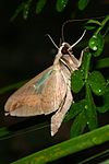 Eumorpha fasciatus Imago (Adult Moth) Side View By Shaina Noggle.JPG