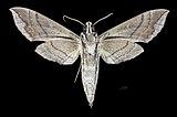 Eumorpha megaeacus MHNT CUT 2010 0 201 Caneca Fina, Rio Sucavao, Mun. Mage, Guapi-mirim, Estado do Rio, Brazil, male ventral.jpg