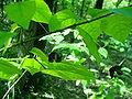 Euonymus verrucosa6pl.jpg