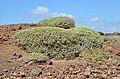 Euphorbia balsamifera - Lanzarote - 02.JPG