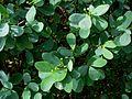 Euphorbia celastroides var. celastroides (4822019927).jpg