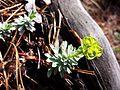 Euphorbia saxatilis sl5.jpg