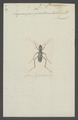 Euprosopus - Print - Iconographia Zoologica - Special Collections University of Amsterdam - UBAINV0274 009 02 0085.tif