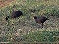 Eurasian Coot (Fulica atra) (15893370162).jpg