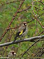 European Goldfinch (Carduelis carduelis) (15709552309).jpg