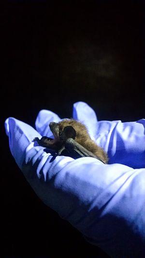 Evening bat - Image: Evening bat
