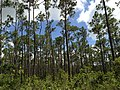 Everglades Pine View - panoramio.jpg