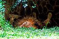 Evil lion.jpg