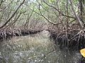 FL-Mangrove-clw.jpg