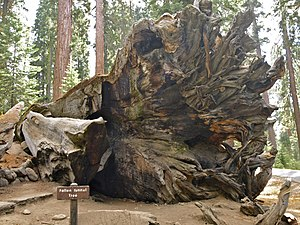 Wawona Tree - The fallen tree, October 2012