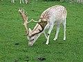 Fallow Deer (22547832817).jpg