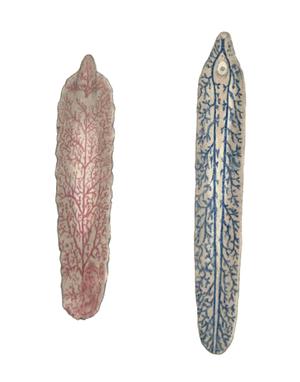 Fasciola gigantica - Cobbold's drawing of Fasciola gigantica