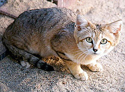 Le chat des sables, Felis margarita
