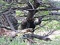 Female woodpecker hanging form tree Trail for Laguna Torre Parque Nacional Los Glaciares El Chalten Argentina.jpg
