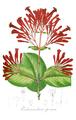 Ferdinandusa speciosa Pohl108.png