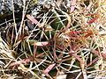 Ferocactus macrodiscus (5742286627).jpg