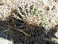 Ferocactus macrodiscus (5742844490).jpg