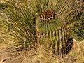 Ferocactus wislizeni - treegrow (1).jpg
