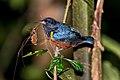 Ferro-velho (Euphonia pectoralis) - Chestnut-bellied Euphonia.jpg