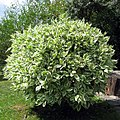 Ficus benjamina leaves.jpg