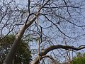 Ficus exasperata (4533535249).jpg
