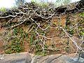 Ficus ingens, habitus, Phalandingwe, a.jpg