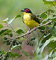 Fig bird 5 (7097088253).jpg