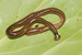 Shovel-headed Garden Worm - Photo (c)  Jean-Lou Justine​, Leigh Winsor, Delphine Gey, Pierre Gros, and Jessica Thévenot, some rights reserved (CC BY-SA)