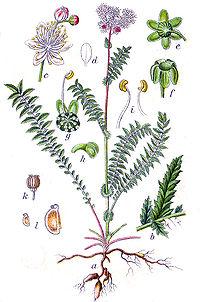 Filipendula vulgaris Sturm134