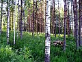 Finnish forest.JPG