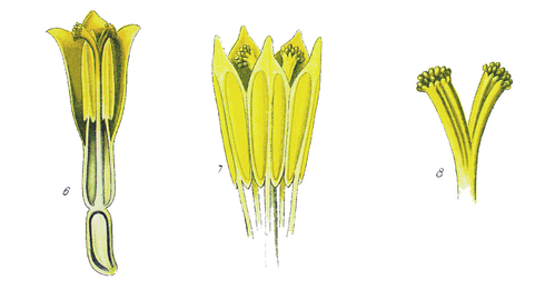 Fiore Asteraceae 05.png