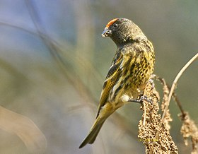Fire-fronted serin at Deoria Tal.jpg