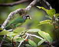 Fire-tufted Barbet, Fraser's Hill, Pahang, Malaysia 2.jpg