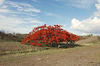 Juana Díaz, Puerto Rico - Image: Flamboyan tree, Juana Diaz, PR panoramio