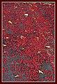Flame Snow Brachychiton Acerifolius has fallen-1 (6297768734).jpg