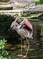 Flamenco chileno (Phoenicopterus chilensis), Zoo de Ciudad Ho Chi Minh, Vietnam, 2013-08-14, DD 01.JPG