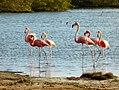 Flamengos at the mangroves (Bonaire 2014) (15545292807).jpg