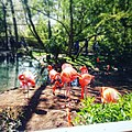 Flamingos (251561809).jpg