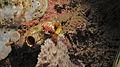 Flatworm (Pseudoceros sp.) on Sea Squirt (Polycarpa aurata) - Nudi Falls, Lembeh Strait, Sulawesi, Indonesia.jpg