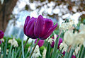Flickr - Duncan~ - Tulips again.jpg