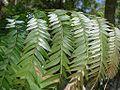 Flickr - João de Deus Medeiros - Jacaranda cuspidifolia.jpg
