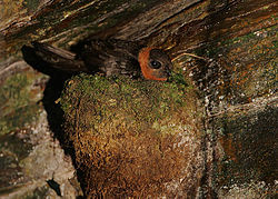 Flickr - Rainbirder - Chestnut-collared Swift (Streptoprocne rutila) on the nest.jpg
