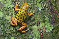Flickr - ggallice - Dart frog (1).jpg