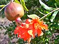 Flor y fruto del granado (Punica granatum).jpg