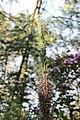 Flora Anamudi shola Kerala IMG 1458.jpg