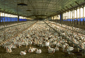 Intensive animal farming - A commercial chicken house with open sides raising broiler pullets for meat