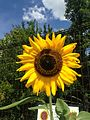 Flower of Helianthus annuus 20160917.jpg