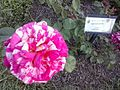 Flowers - Fiori (17522033072).jpg
